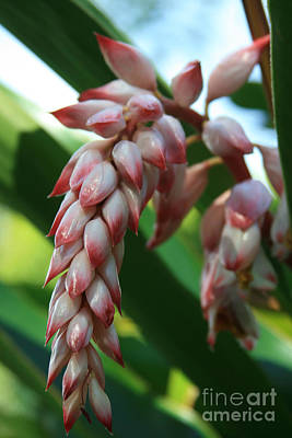 Photograph - Shell Ginger Alpinia Zerumbet Tropical Flowers Of Hawaii by Sharon Mau