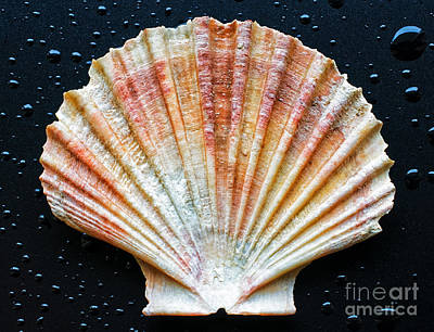 Photograph - Shell by Silvia Ganora