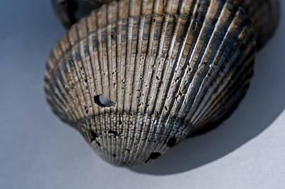 Photograph - Shells by Wilma  Birdwell