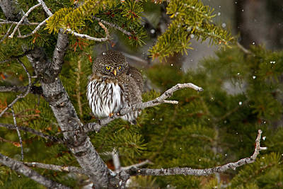 Pygmy Owl Wall Art - Photograph - Shelter From The Storm by Sandy Sisti