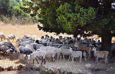 Sheltering Flock Art Print by Paul Cowan
