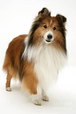 Sable Sheltie Photograph - Sheltie by Jane Burton