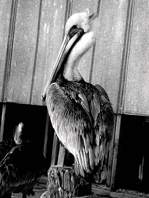 Shem Creek Pelican Art Print