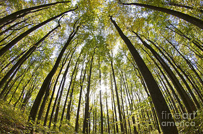 Trees In The Forest Photograph - Shenandoah National Forest Va by Dustin K Ryan