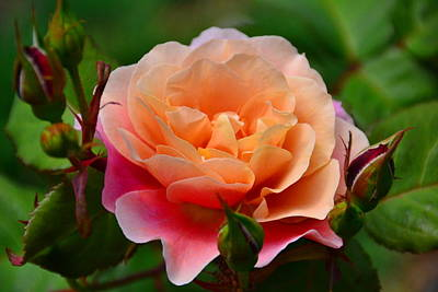 Photograph - Sherbet Rose by Bonnie Myszka