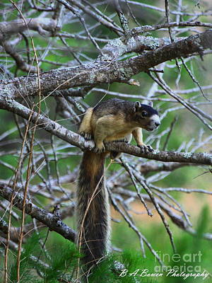 Photograph - Shermans Fox Squirrel by Barbara Bowen