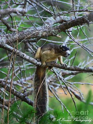 Shermans Fox Squirrel Original by Barbara Bowen