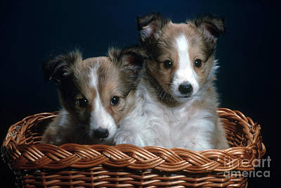 Sheepdog Photograph - Shetland Puppies by Nature Source