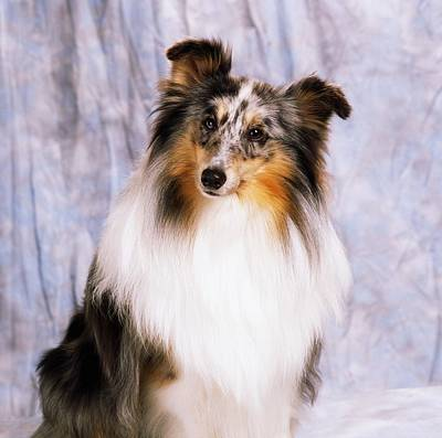 Best Irish Photograph - Shetland Sheepdog Portrait Of A Dog by The Irish Image Collection