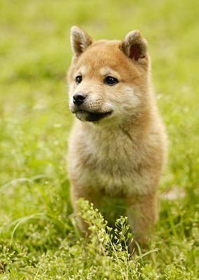 Photograph - Shiba-ken Puppy by Datacraft Co Ltd