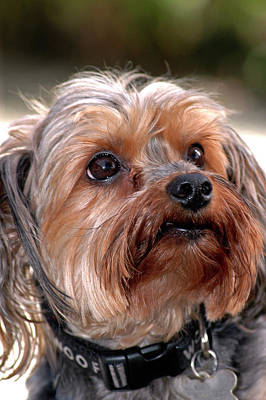 Photograph - Shih-tzu by Carolyn Marshall