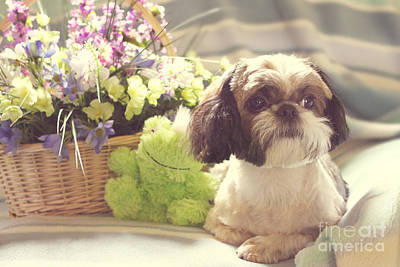 Photograph - Shih Tzu Ginger by Lena Auxier