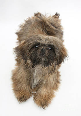 House Pet Photograph - Shih-tzu by Mark Taylor