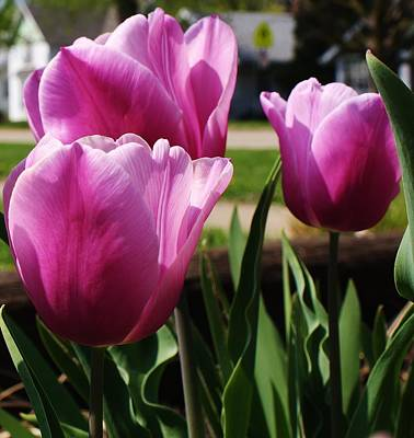Shining Tulips Art Print by Bruce Bley