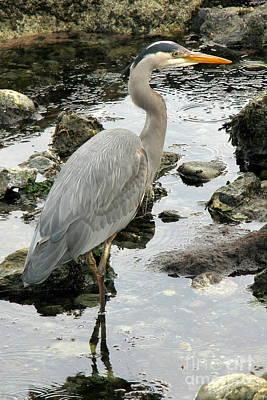 Photograph - Shoreline Predator by Frank Townsley