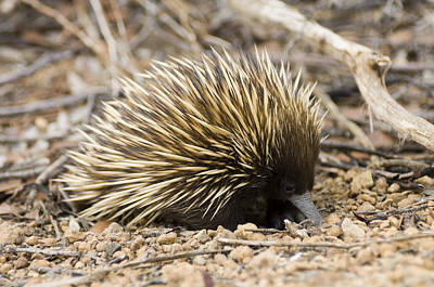 Short-beaked Echidna Art Print by Matthew Oldfield