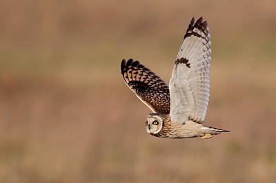 Focus On Foreground Photograph - Short-eared Owl by Andrew Sproule
