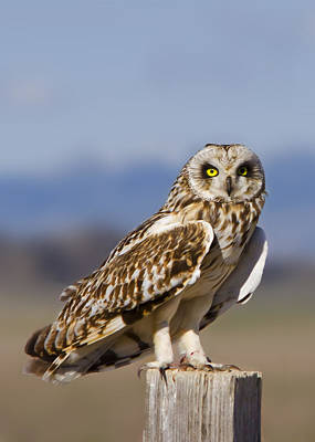 Short Eared Owl Art Print