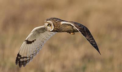 Short-eared Owl In Flight Art Print