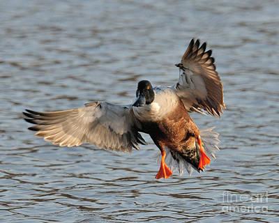 Photograph - Shoveler Landing by Craig Leaper