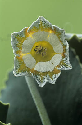 Auricula Photograph - Show Auricula 'greenpeace' Flower by Archie Young