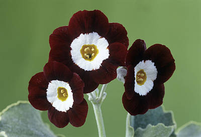 Auricula Photograph - Show Auricula 'old Red Elvet' Flowers by Archie Young