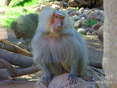 Phoenix Zoo Photograph - Shy Baboon by Mary Deal