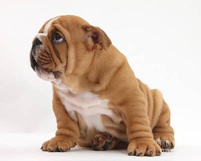 Shy Bulldog Pup Art Print by Mark Taylor