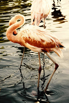 Photograph - Shy Flamingo by Anthony Citro