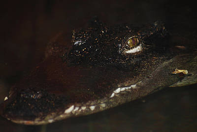 Photograph - Siamese Crocodile 1 by Scott Hovind