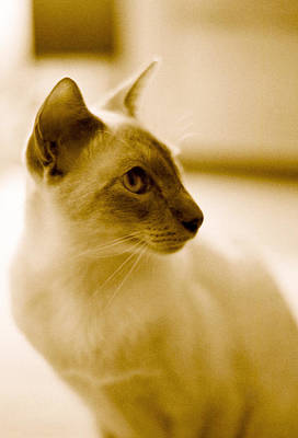 Photograph - Siamese Feline by Lenny Carter