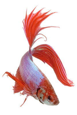 Siamese Fighting Fish Photograph - Siamese Fighting Fish (betta Splendens), Close-up by George Diebold