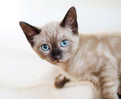 Siamese Photograph - Siamese Kitten by Cindy Loughridge
