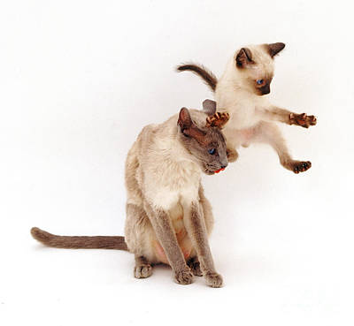 Photograph - Siamese Kitten Leaping by Jane Burton
