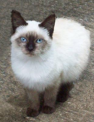Siamese Kitten Art Print