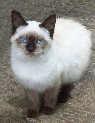 Lisa Williams Photograph - Siamese Kitten by Lisa Williams