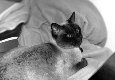 Photograph - Siamese  by Sarah Reed