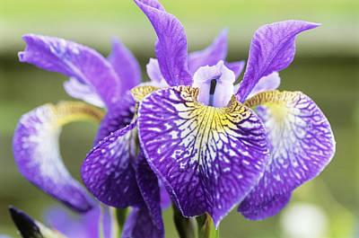 Siberian Iris Photograph - Siberian Iris (iris 'silver Ledge') by Archie Young