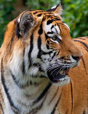 Art Print featuring the photograph Siberian Tiger by Cindy Haggerty