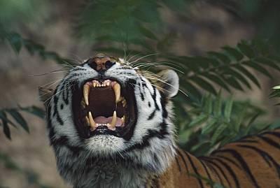 Siberian Tiger Panthera Tigris Bares Art Print by David Ponton