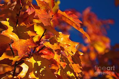 Sierra Autumn Leaves In Orange And Gold Art Print by ELITE IMAGE photography By Chad McDermott