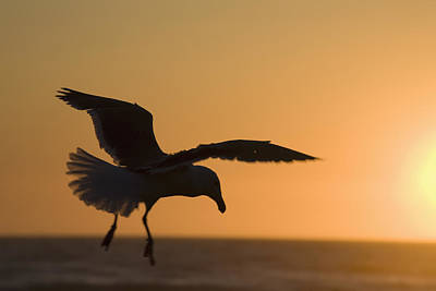 Silhouette Of A Seagull In Flight At Art Print by Michael Interisano