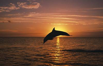 Silhouette Of Leaping Bottlenose Art Print by Natural Selection Craig Tuttle