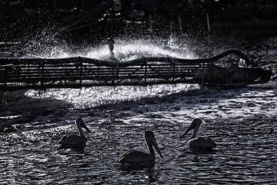 Photograph - Silhouetted Pelicans by Denis Lemay