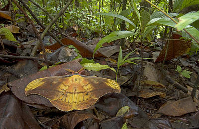 Mar2613 Photograph - Silk Moth Amid Leaf Litter Costa Rica by Piotr Naskrecki