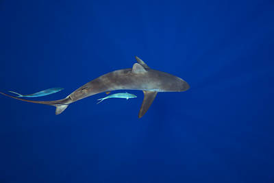 Silky Shark Art Print