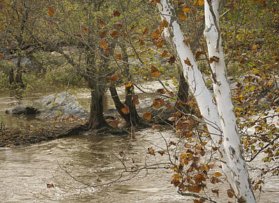 Art Print featuring the photograph Silver Birch By Potomac by Lisa Missenda