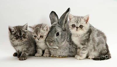 Silver Exotic Kittens And Silver Lop Art Print