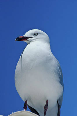 Photograph - Silver Gull-2 by Harry Strharsky