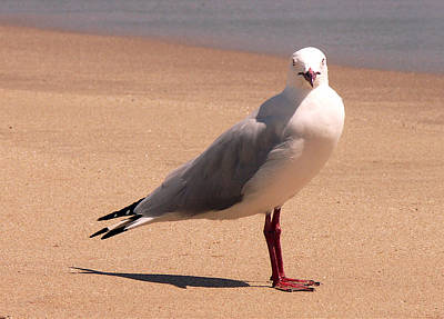 Photograph - Silver Gull - A Portrait by Jocelyn Kahawai